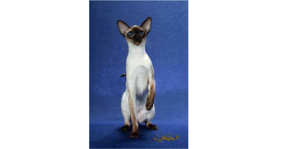 cat breeds with fluffy tails